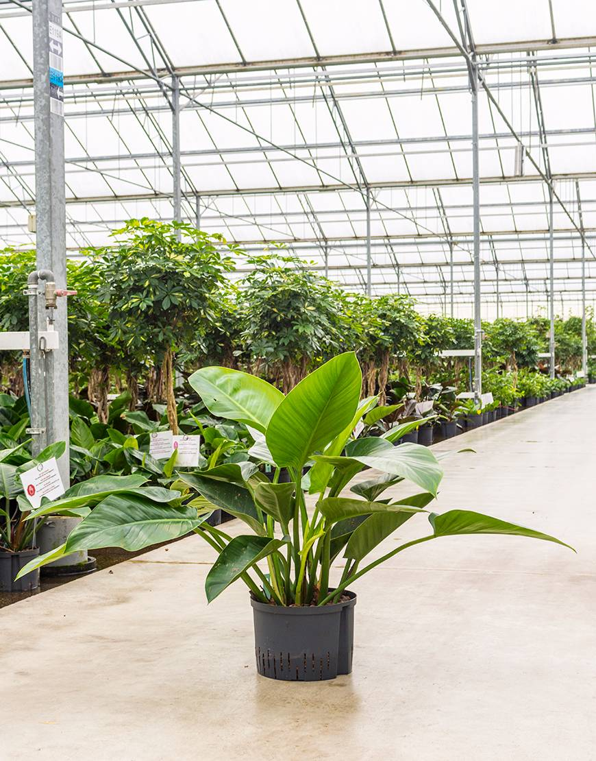 philodendron green congo plant verhuur