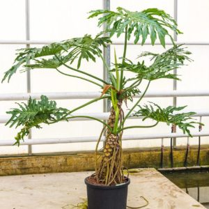 philodendron plant verhuur groot xxl