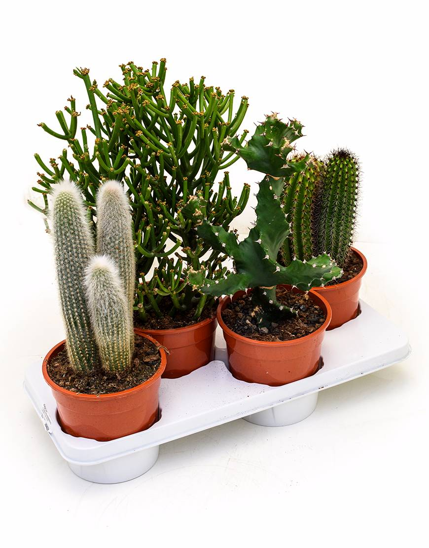 cactus mix mini plant verhuur