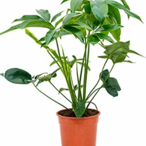 philodendron plant verhuur