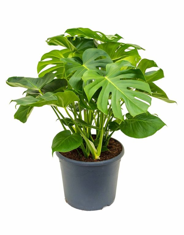monstera plant verhuur