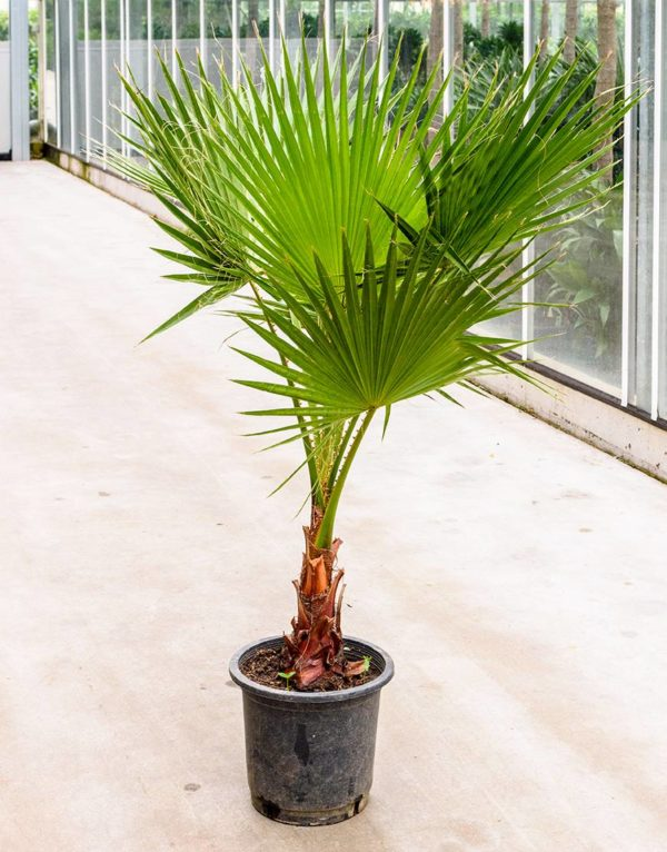 washington palm plant verhuur