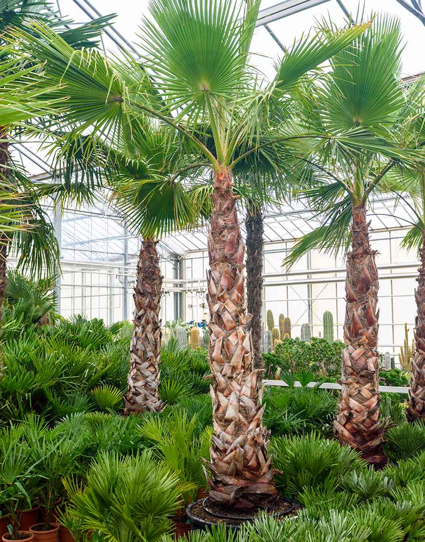 washington palm plant xxl groot verhuur